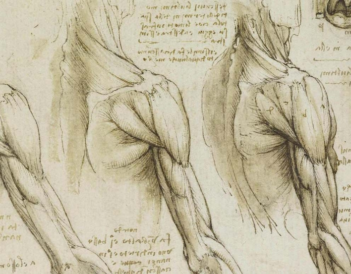 Leonardo Muscles of the shoulder