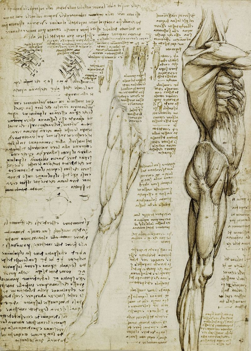 Leonardo The muscles of the leg