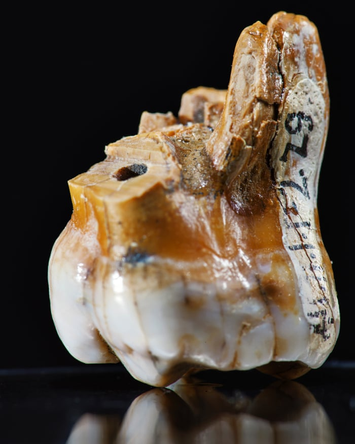 Molar tooth from Denisova cave